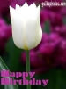 grusskarten-birthday-tulip-white