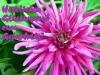 grusskarten-geburtstag-dahlie-pink
