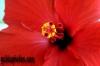 karten-geburtstag-hibiskus