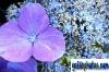 karten-geburtstag-hortensie