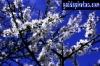 karten-geburtstag-kirschbluete