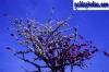karten-geburtstag-kirschblueten