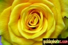 karten-geburtstag-rose-gelb