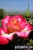 karten-geburtstag-rose-hellrot