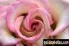 karten-geburtstag-rose-pink