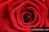 karten-geburtstag-rose-rot-gross