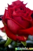 karten-geburtstag-rose-rot